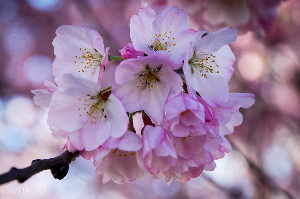Colorful Cherry Blossom in New Jersey